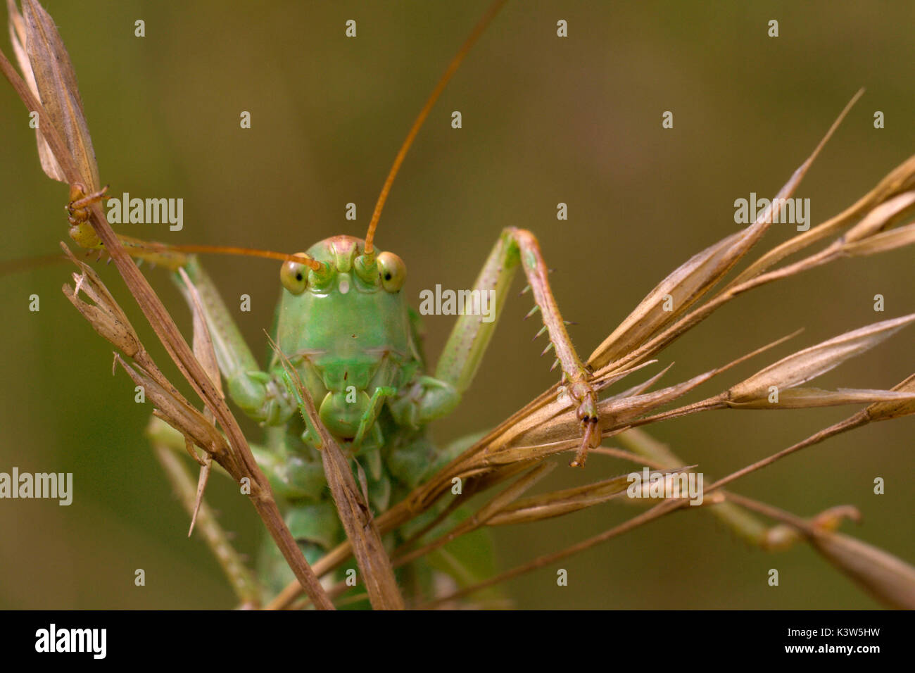 Tettigoniidae, Piemont, Italien Stockbild