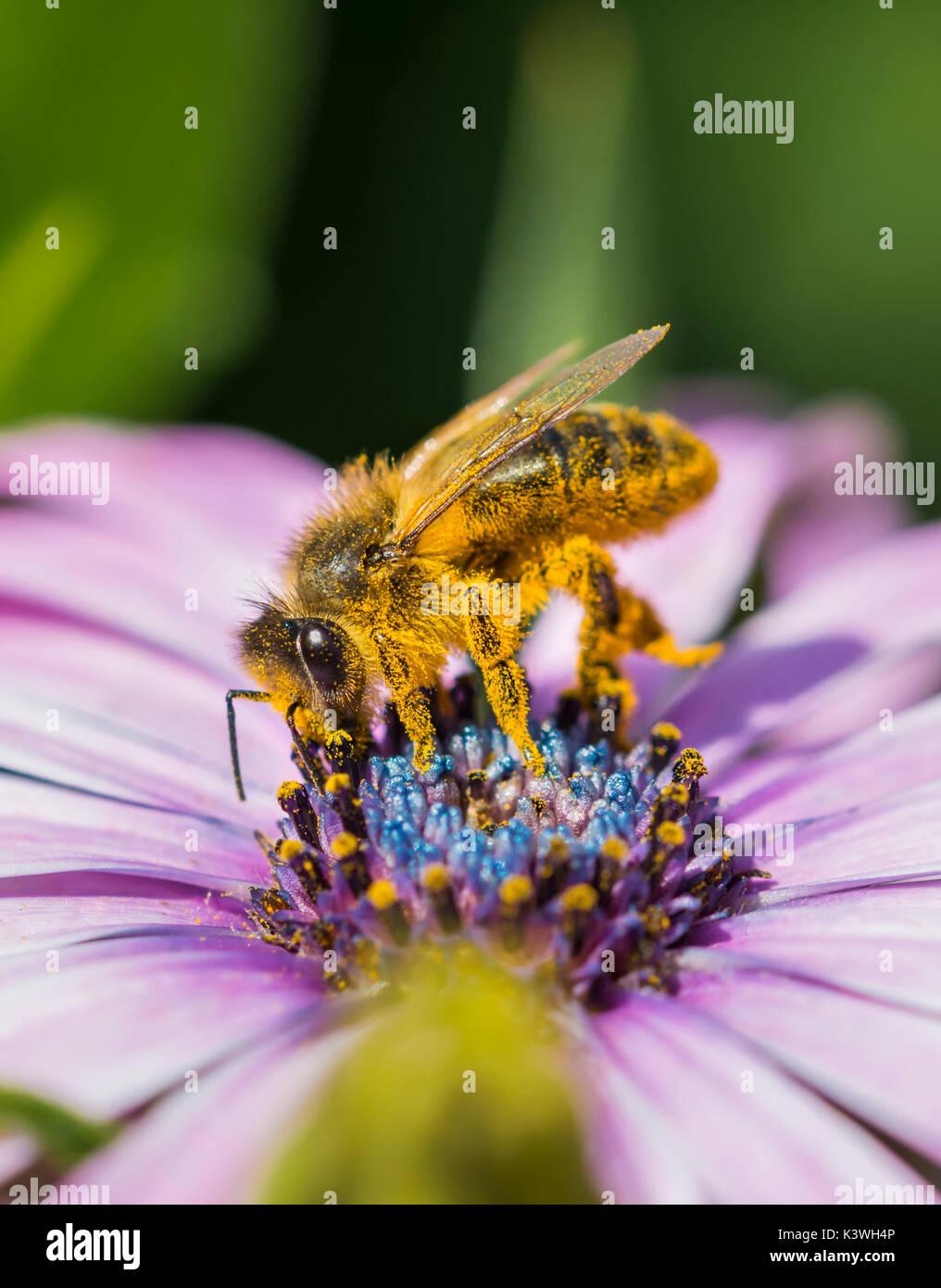 Apis mellifera (Europäische Honigbiene) auf einem Osteospermum ecklonis (African Daisy) Sammeln von Nektar/Bestäubung in West Sussex, UK. Biene bestäubt, Stockbild