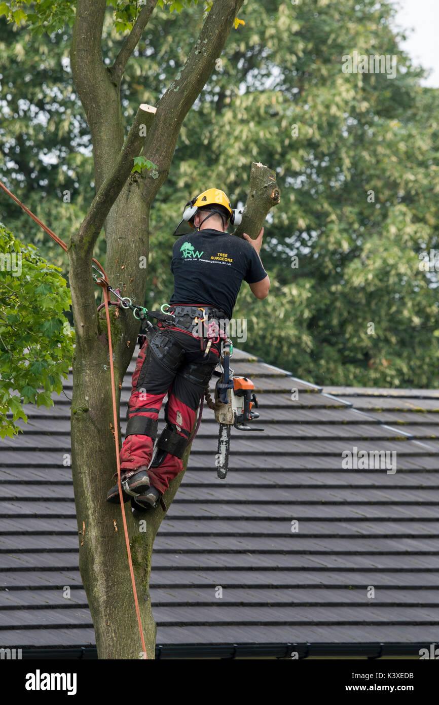Baum Chirurg in Schutzausrüstung arbeiten, mit Kletterseilen für Safety & mit Kettensäge, ist hoch in den Filialen der Garten baum - Yorkshire, England, UK. Stockbild