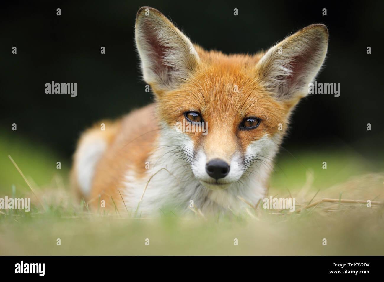 Junge Fuchs schaut direkt in die Kamera, während die Stockbild