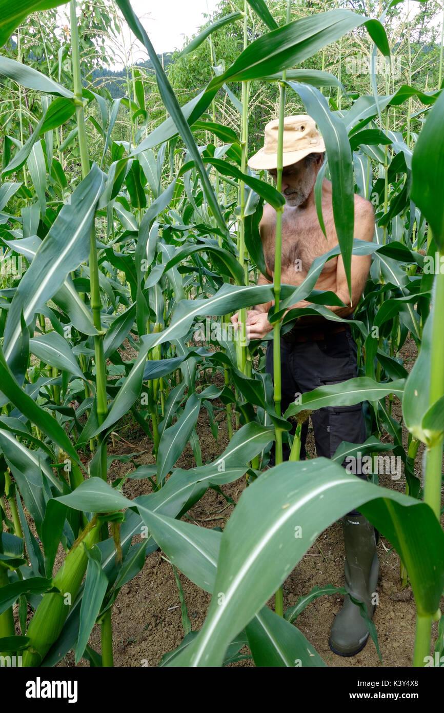 Ein Bauer steht im Kornfeld und Schätzungen der voraussichtlichen Ertrag der Maispflanzen. Slowenien Stockbild
