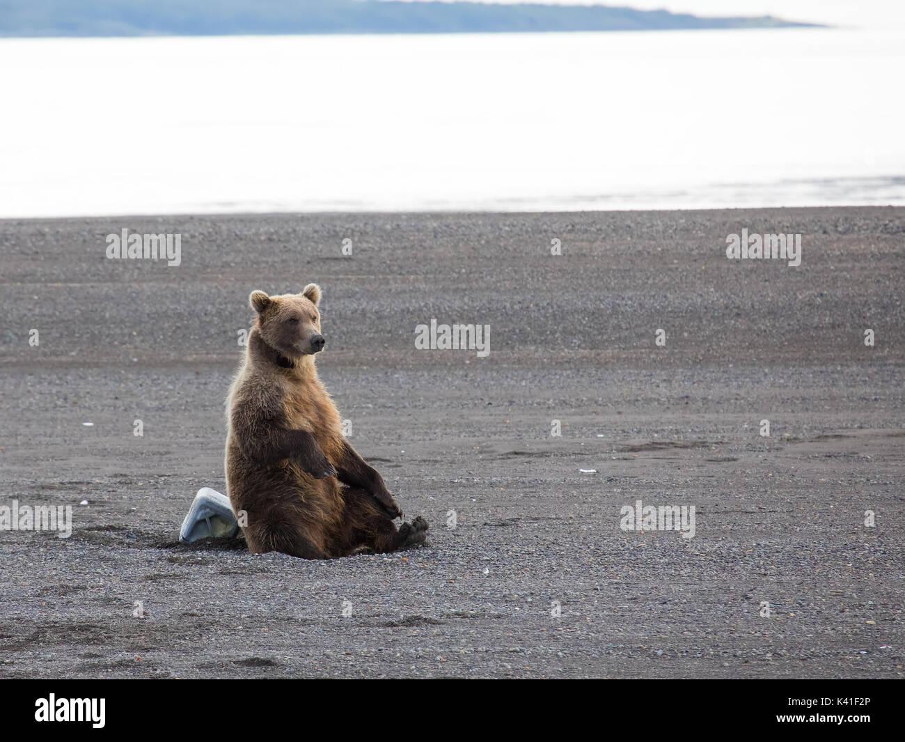 Küsten Braunbär, Katmai National Park, Alaska Stockbild