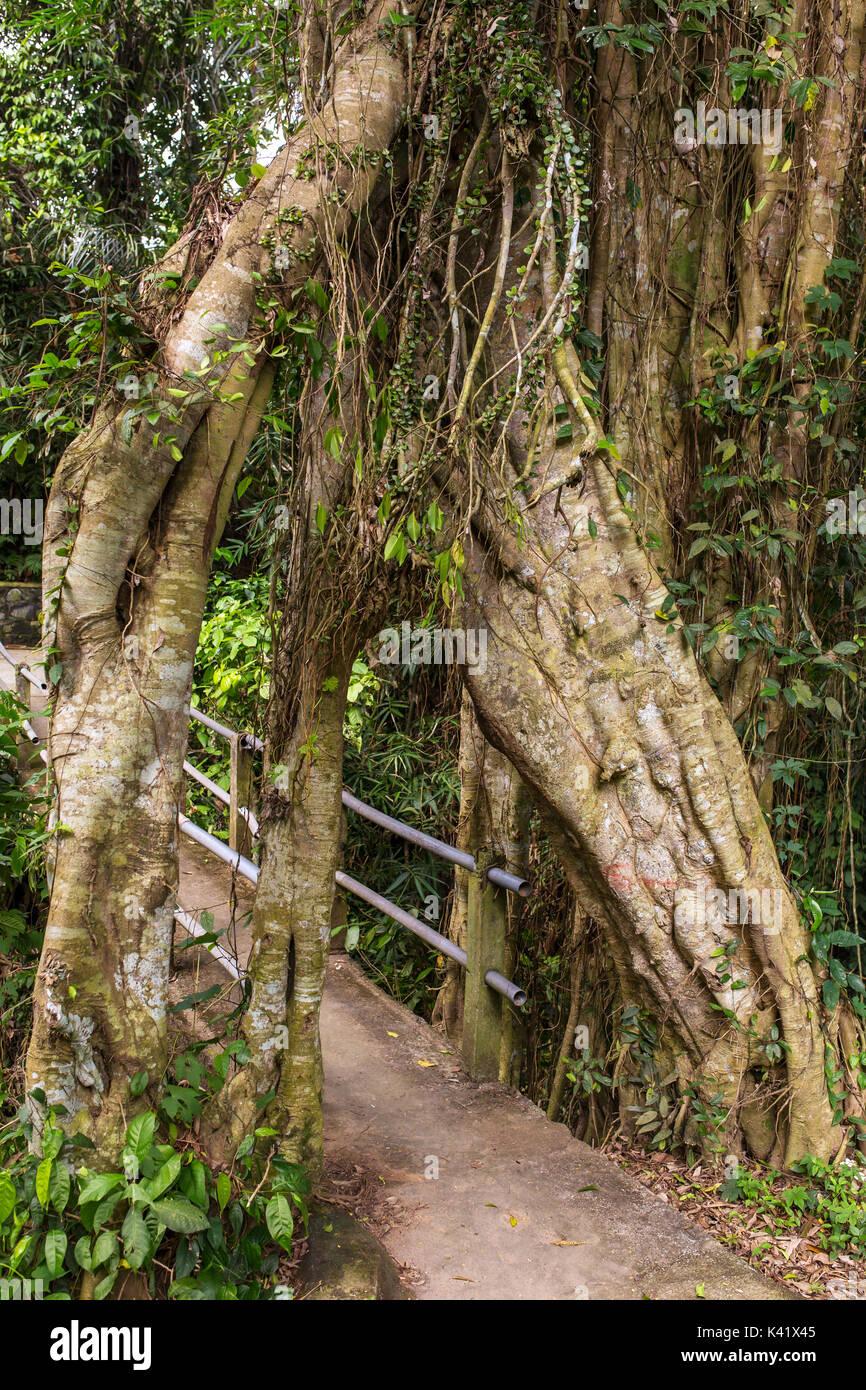 Alten tropischen live green Banyan Tree mit Tunnel arch miteinander verwobener Baum Wurzeln an der Basis, Bali, Indonesien Stockbild