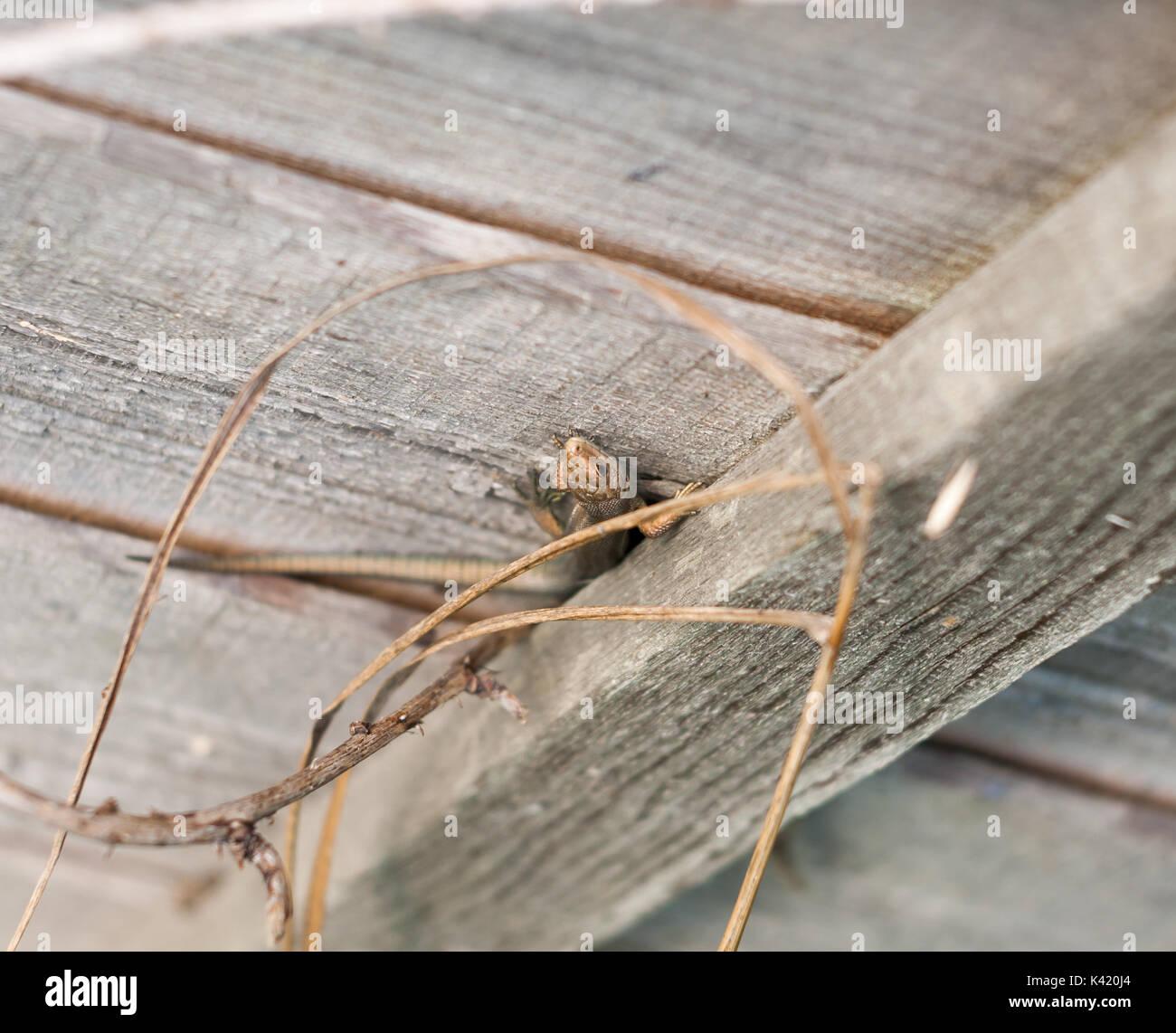 De Wilde Gemeinsame oder Vivipar Eidechse auf Zaun Wand Holz, Essex, England, Großbritannien Stockfoto