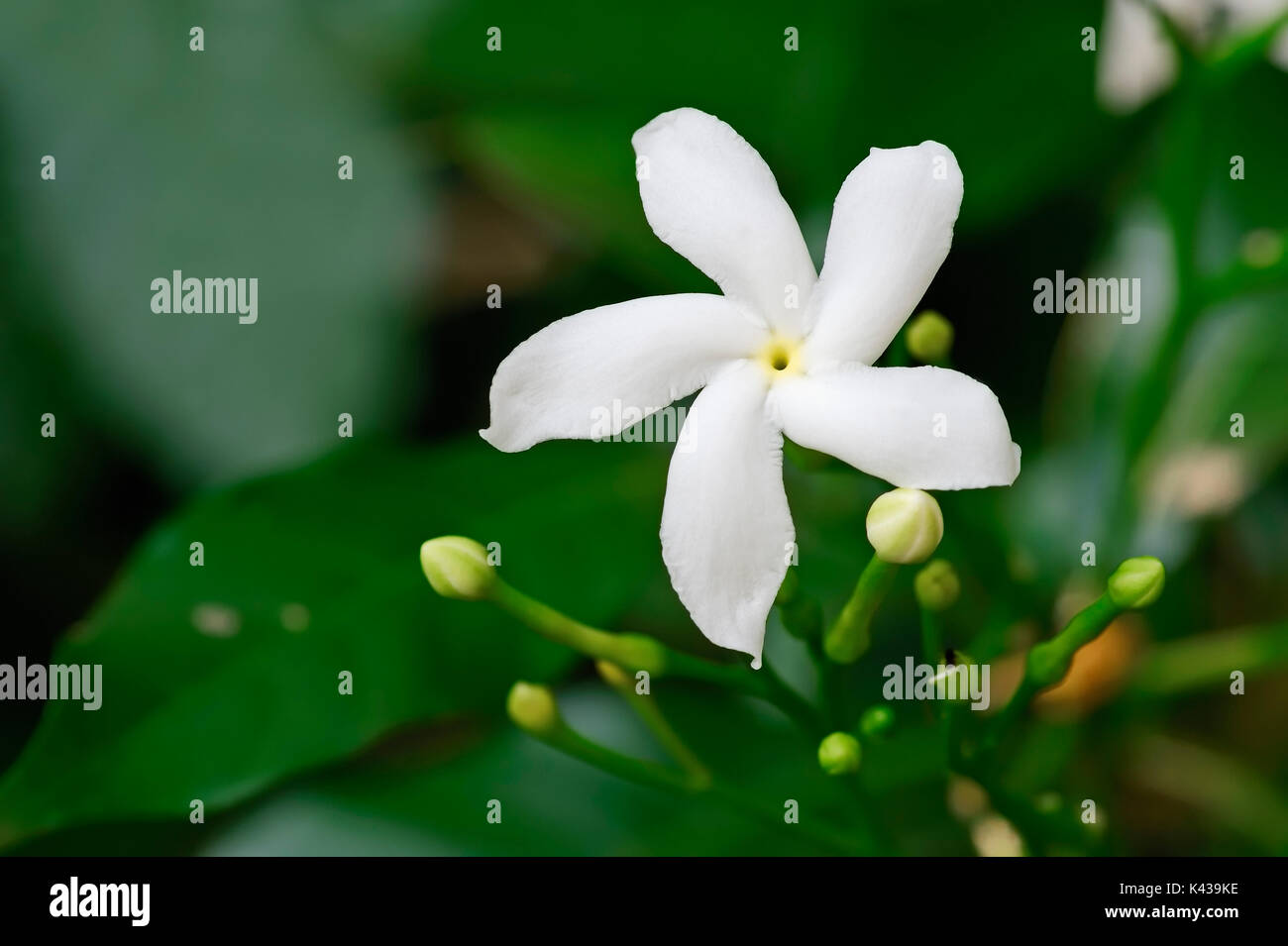 Crape Jasmin, Rajasthan, Indien/(Tabernaemontana maculata) | Schmetterlingsgardenie, Rajasthan, Indien Stockbild
