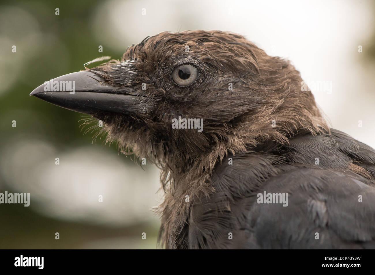 Dohle (Corvus monedula) schließen, bis der Kopf im Profil. Juvenile Vogel in die Krähe Familie (corvidae) Gammelig vor dem Gefieder reift voll Stockbild