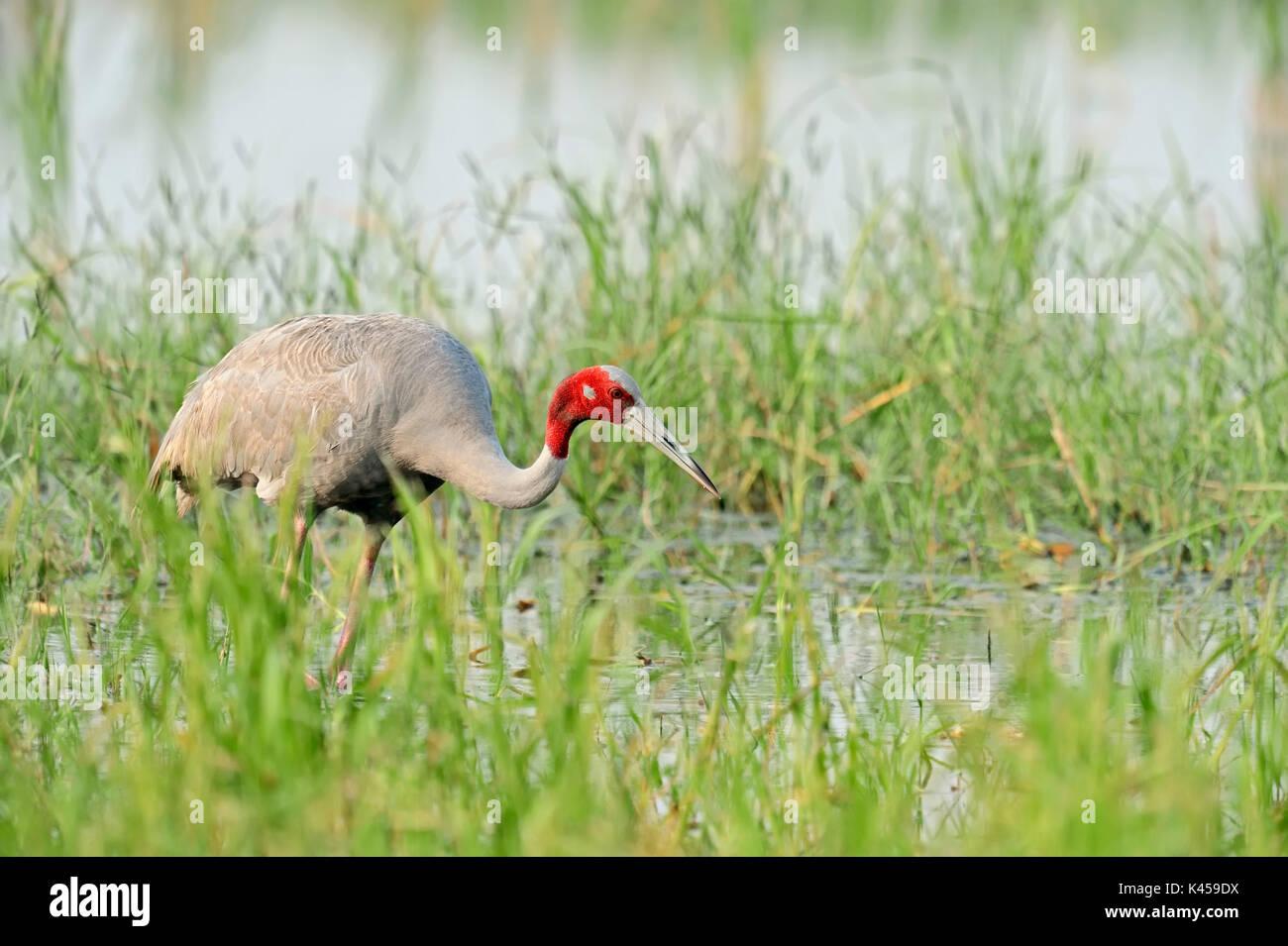 Sarus Crane, Rajasthan, Indien/(Grus Antigone) | Saruskranich, Rajasthan, Indien/(Grus Antigone) Stockbild