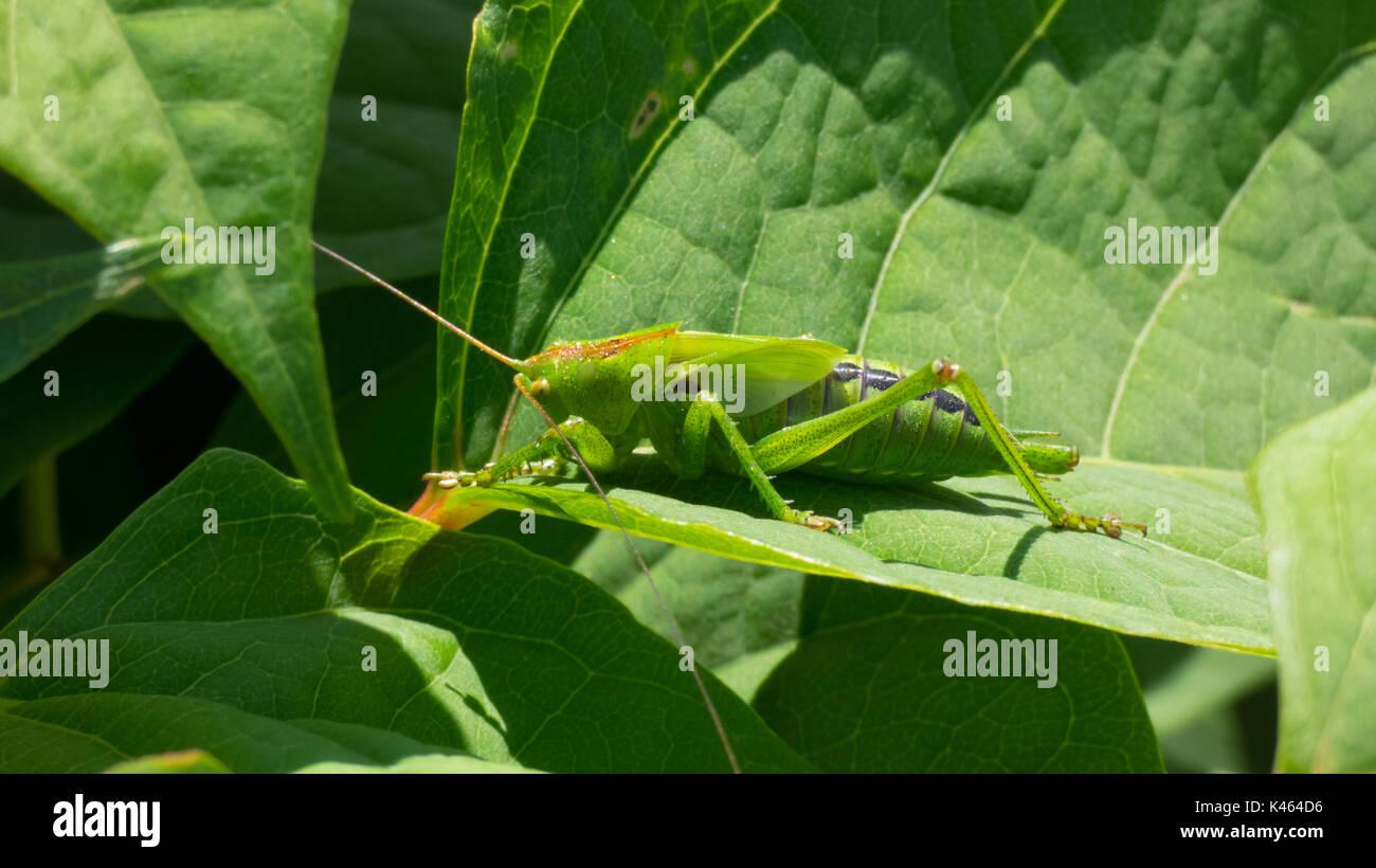 Super Green Bush Cricket (Tettigonia Viridissima) auf ein Blatt in einem Sommer sonnigen Tag Stockbild