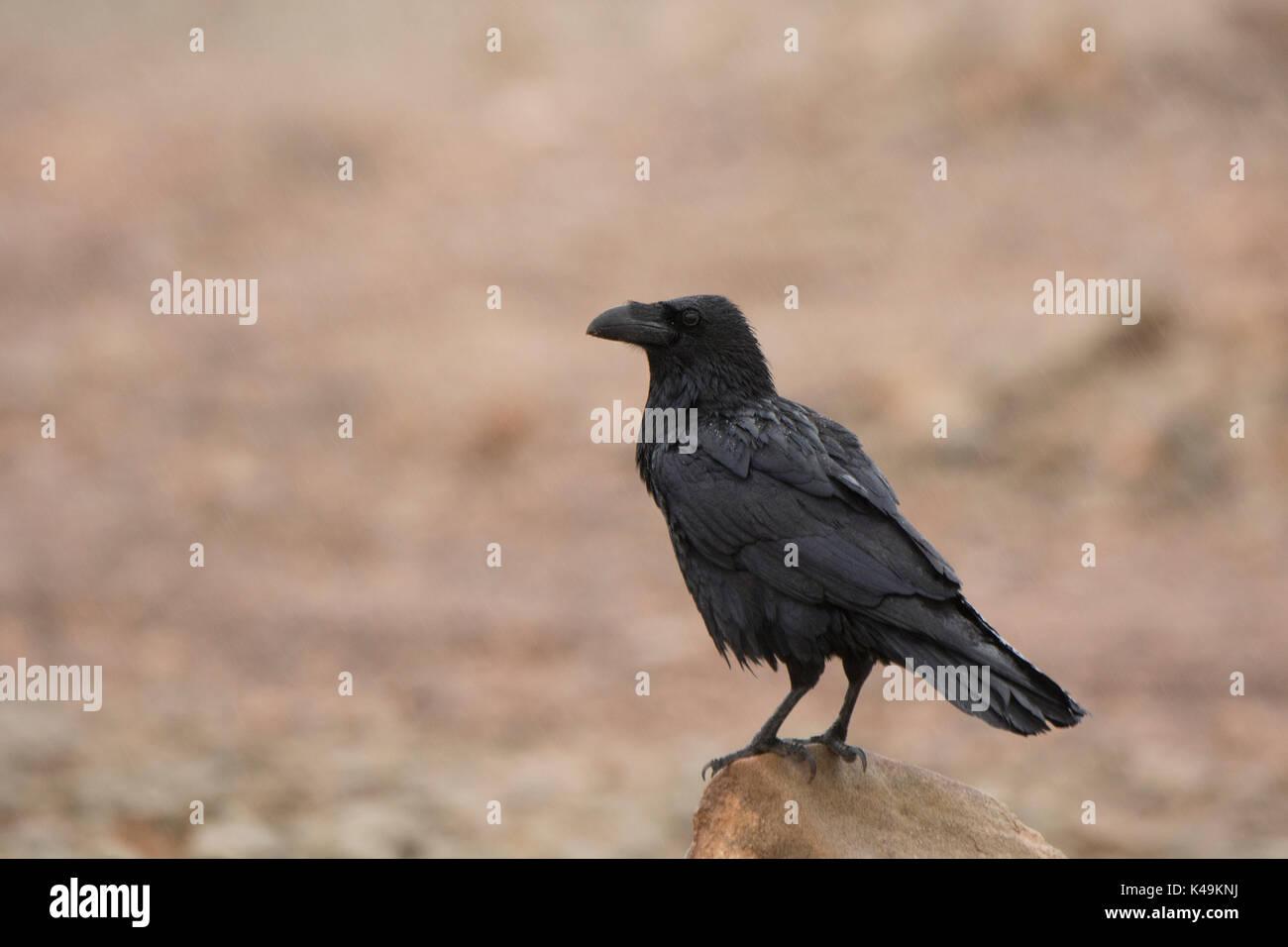 Gemeinsamen Raven-Corvus Corax Fuertuventura Kanarische Inseln Stockbild