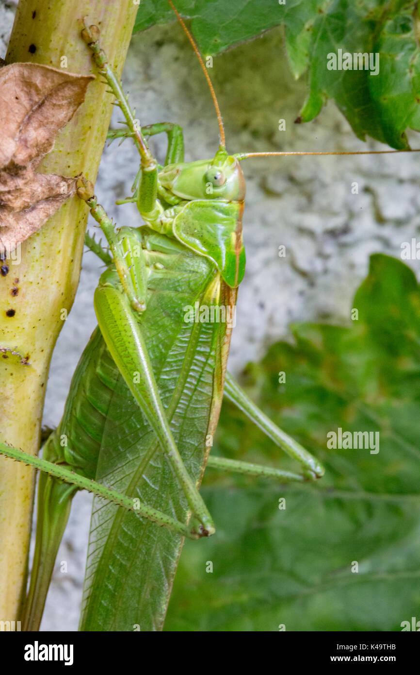 Weibliche Grüne Heuschrecke in der Sonne sitzen Stockbild