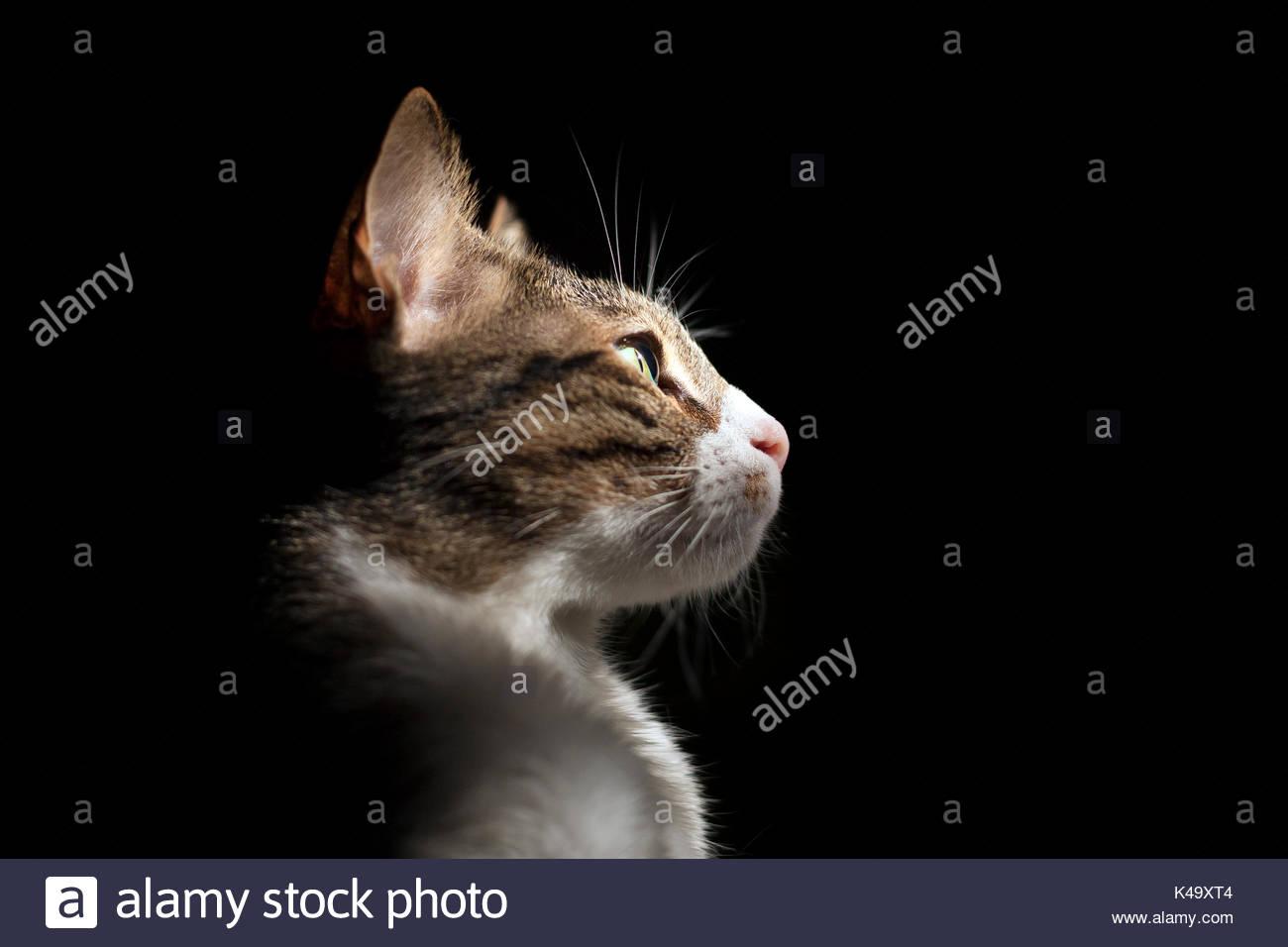 Profil Portrait einer Katze auf schwarzem Hintergrund Stockbild
