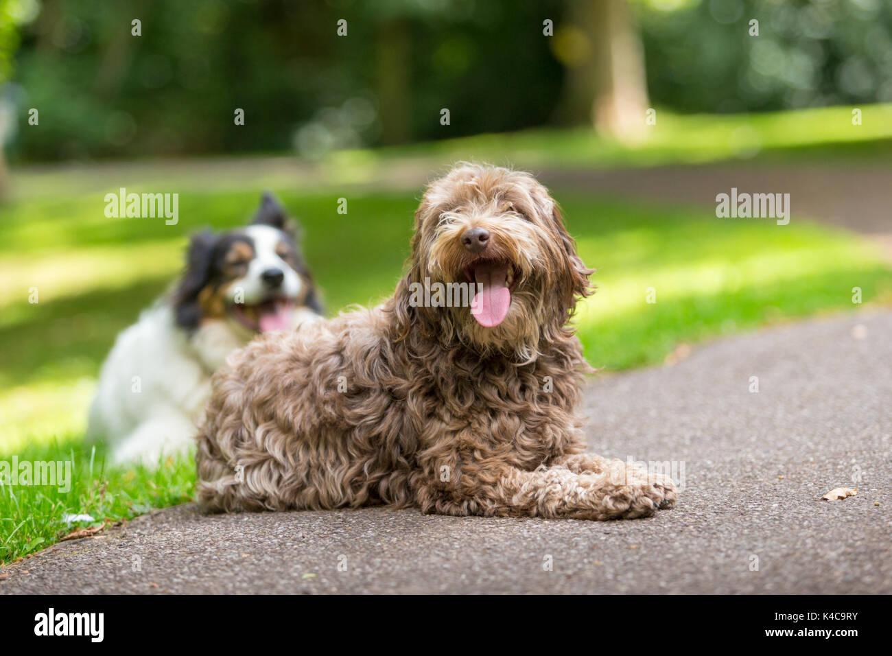 Mixed Border Collie Und Pudel Hund Die Auf Dem Gras In Einem Park Stockfotografie Alamy