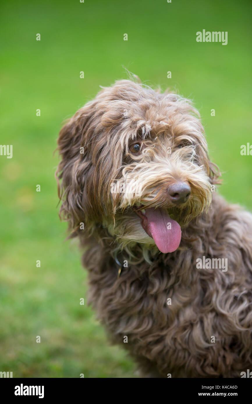 Kopf Und Gesicht Eines Border Collie Und Pudel Mix Gezuchteten Hund Stockfotografie Alamy