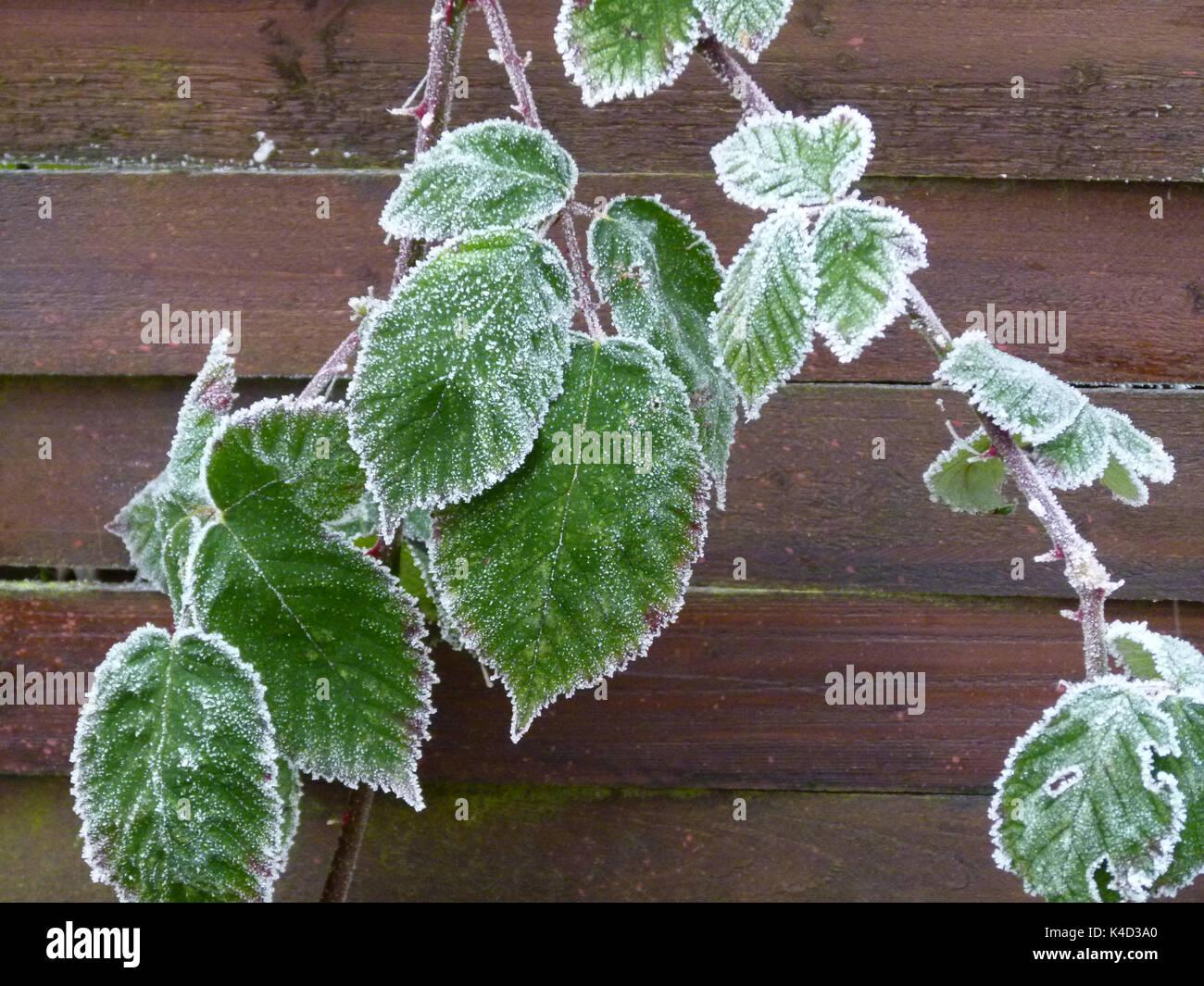 Frosty Dornbusch Ranke Stockbild