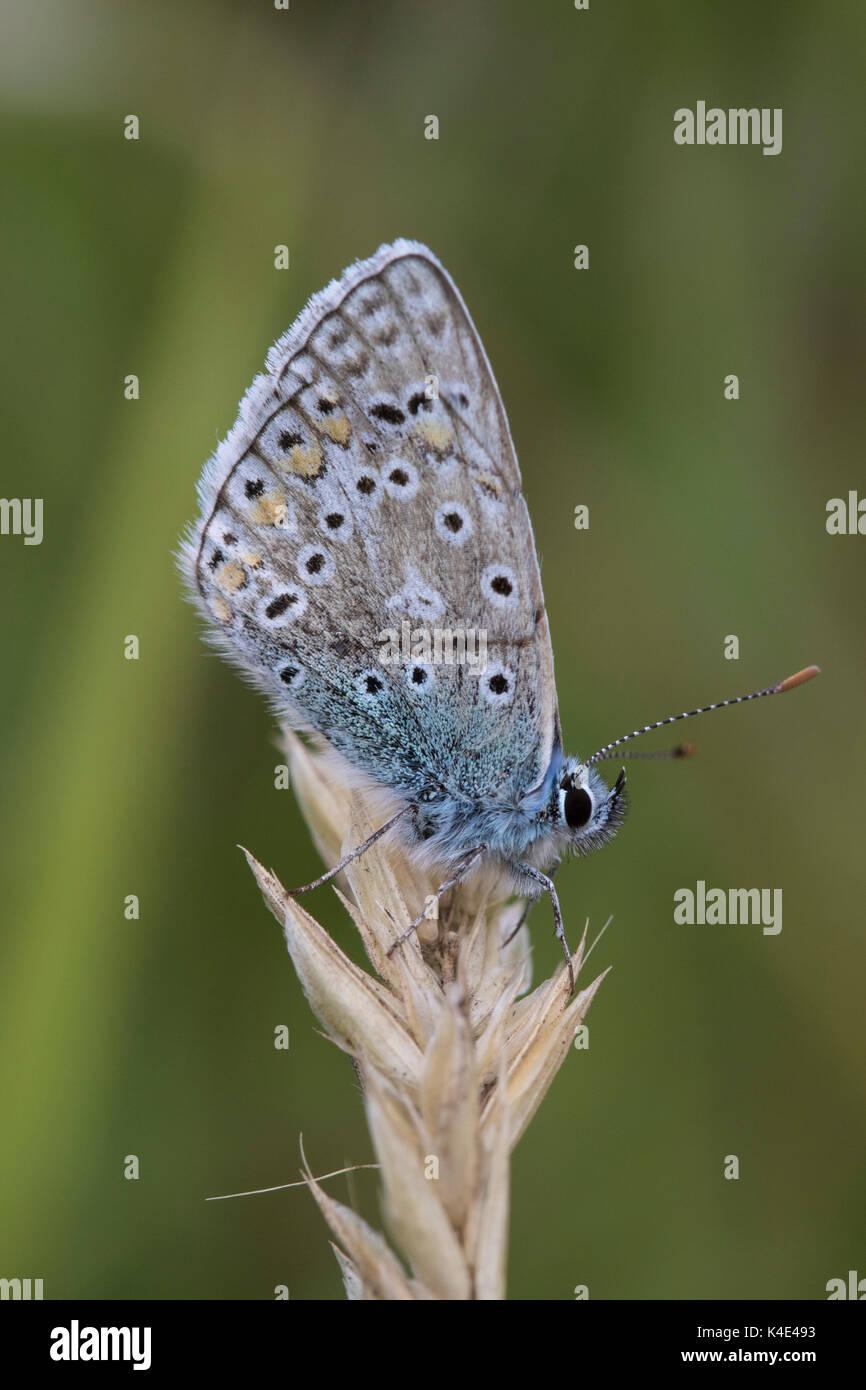 Gemeinsame Blauer Schmetterling, Polyommatus Icarus, Alleinstehenden ruht auf getrocknetem Gras. Worcestershire, Großbritannien. Stockbild