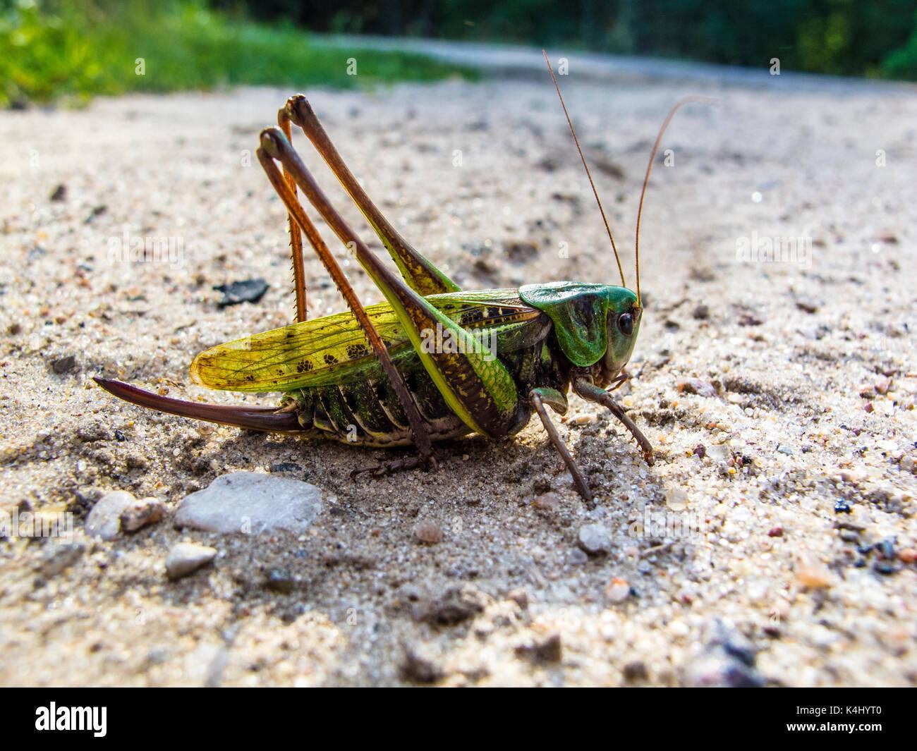 Sehr große Heuschrecke, Farbe grün Stockfoto