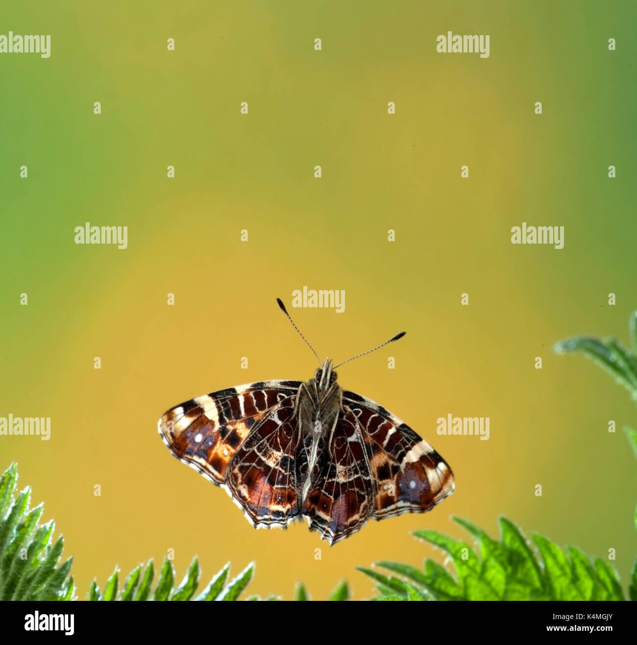 Ziemlich Schmetterling Färbung Blatt Ideen - Druckbare Malvorlagen ...