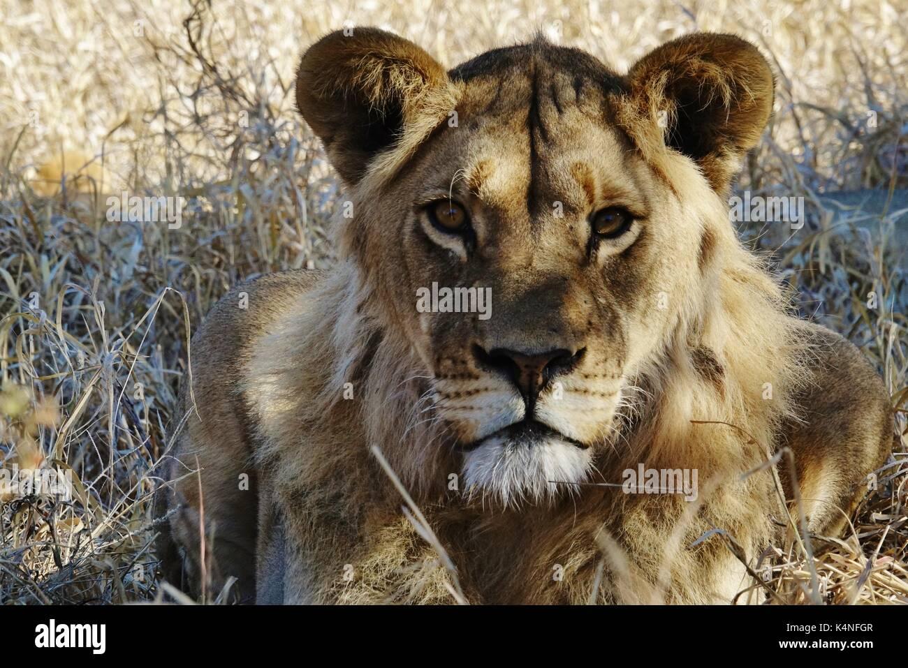 Löwin Kopf Stockbild