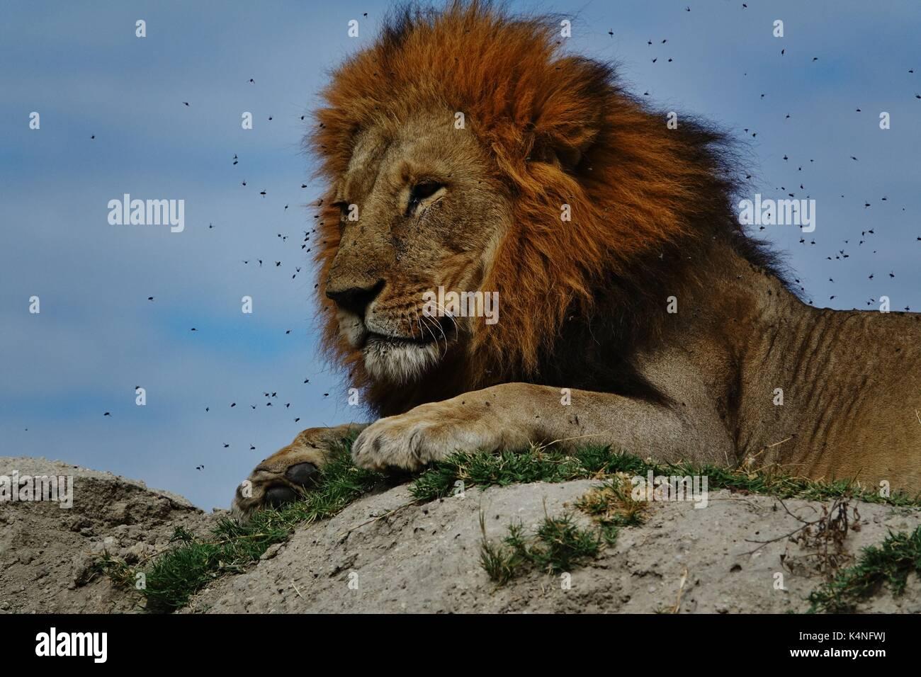 Lion's Head mit Fliegen Stockbild