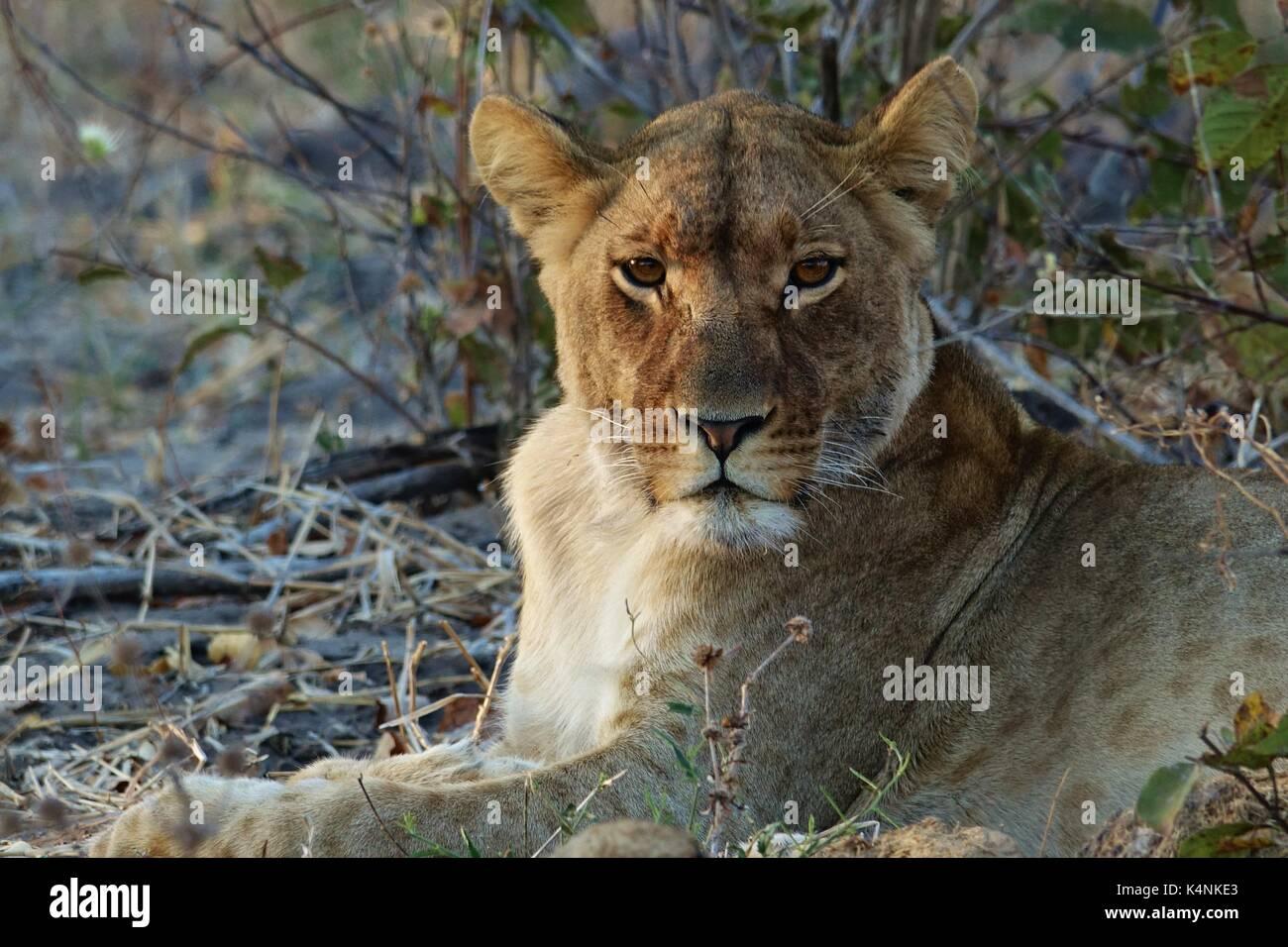 Löwin auf der Suche Stockbild