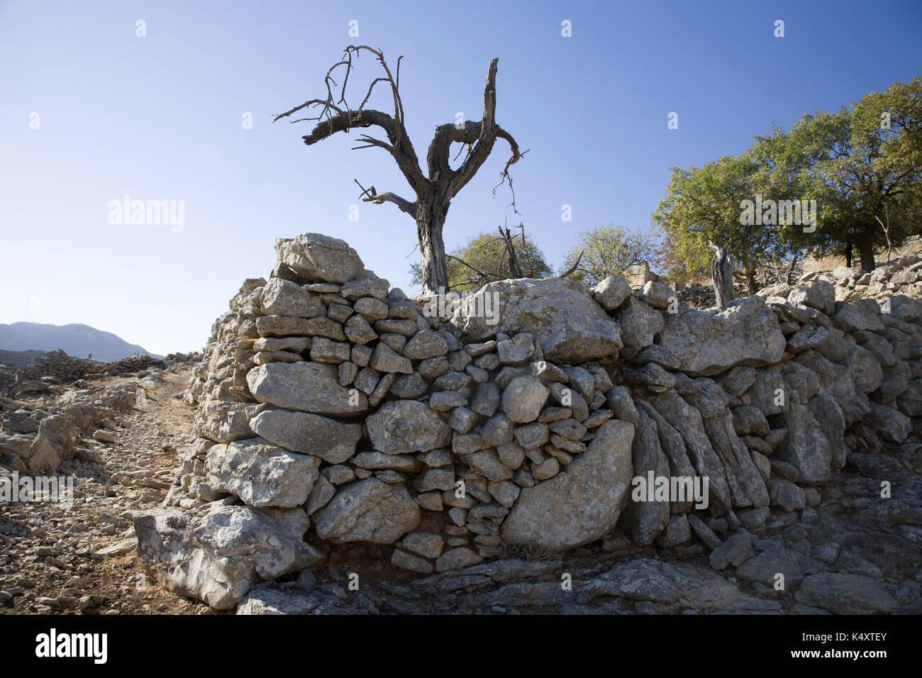 Dead Olive Tree in dem verlassenen Dorf mikro Horio, Tilos, Griechenland Stockbild