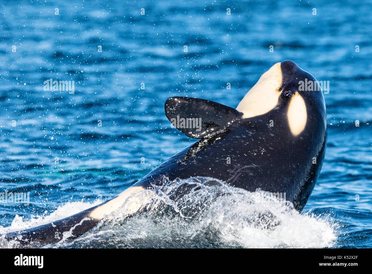 Northern resident Killer whale Bruch mit offenen Augen vor Swanson Insel aus nördlichen Vancouver Island, British Columbia, Kanada. Stockbild