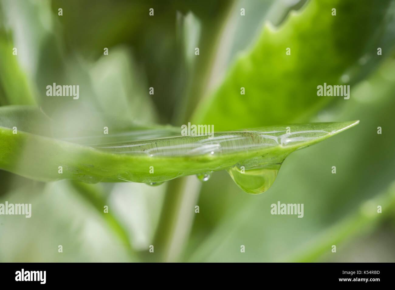 Oberflächenspannung, Vergrößerung, und Brechung. Wassertropfen auf den Blättern. Stockbild