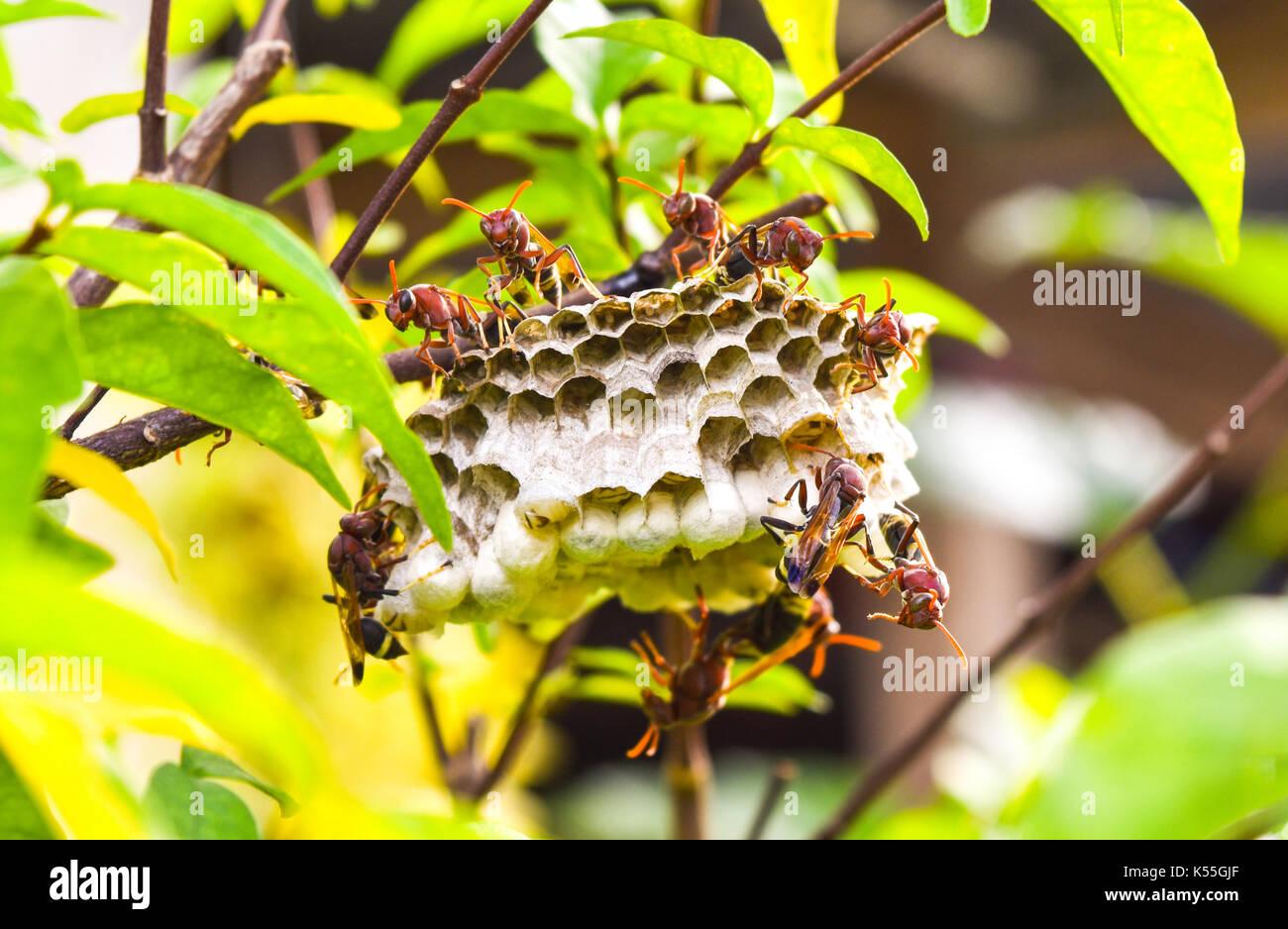 Wasp Nest in der Branche, es gibt viele Hornet sehen schrecklich und gruselig. Stockbild