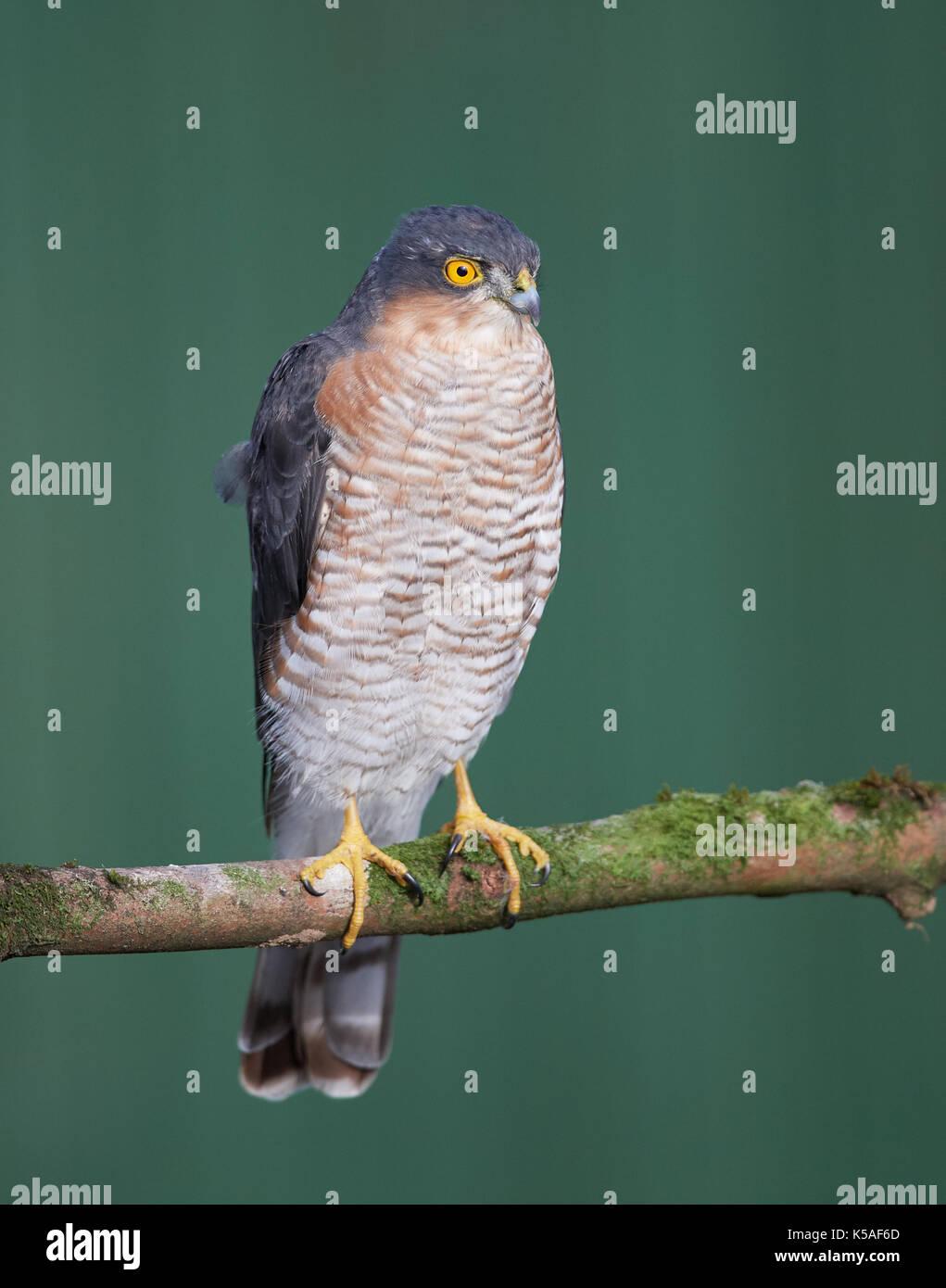 Sperber jagen kleine Vögel Stockfoto