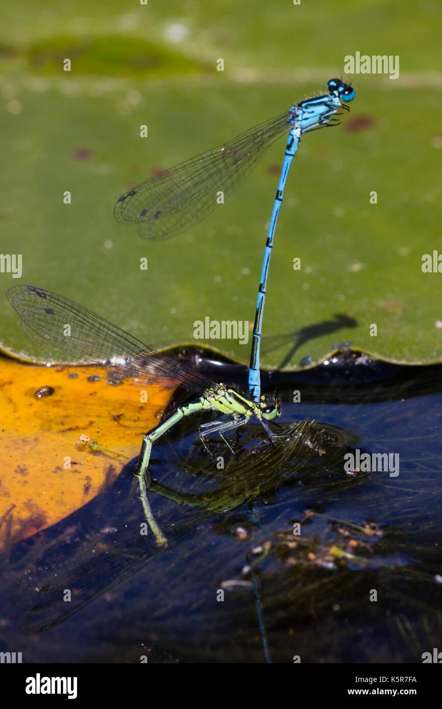 Blau männlich Azure danselfly, Coenagrion puella, Spangen grünes Formular Weibchen bei Eiablage in einem Pool Stockbild
