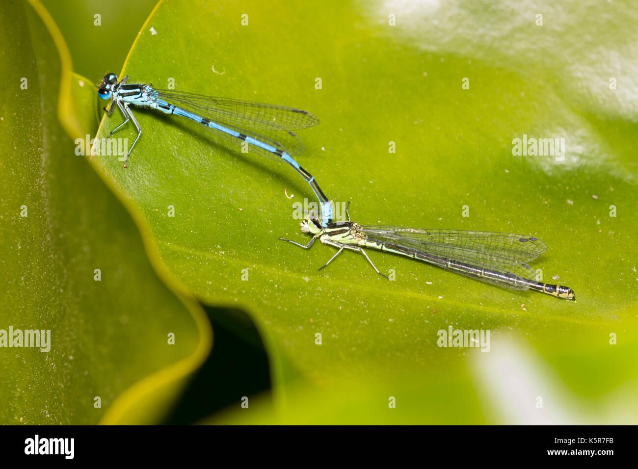 Blau männlich Azure danselfly, Coenagrion puella, Spangen grünes Formular, das Weibliche als Teil der paarungsritual Stockbild