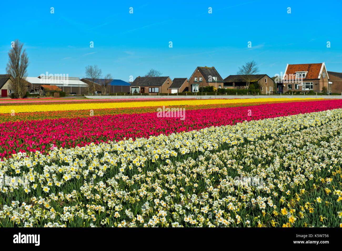 Anbau von Narzissen und Tulpen, Blume Glühlampe region Bollenstreek, Noordwijkerhout, Niederlande Stockbild