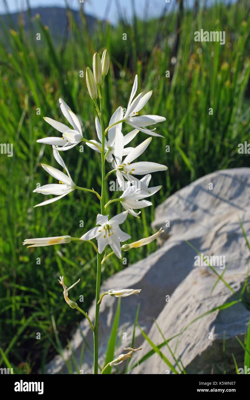 Dies ist Anthericum liliago, Lily der hl. Bernhard, von der Familie Asparagaceae, beheimatet in Südeuropa Stockbild