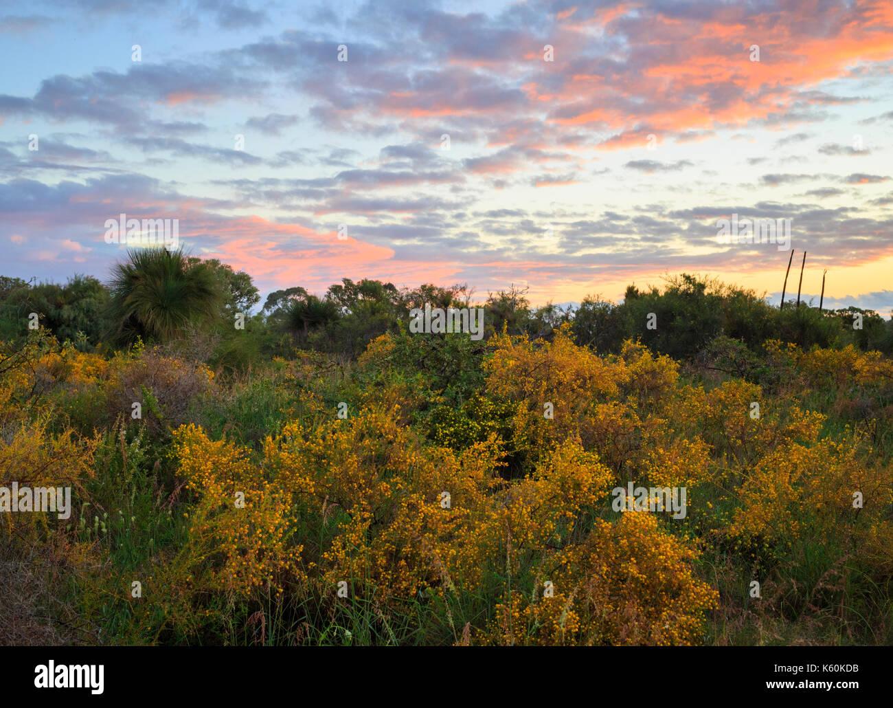 Wattle wachsen in Star Swamp Reserve suburban Buschland Stockbild