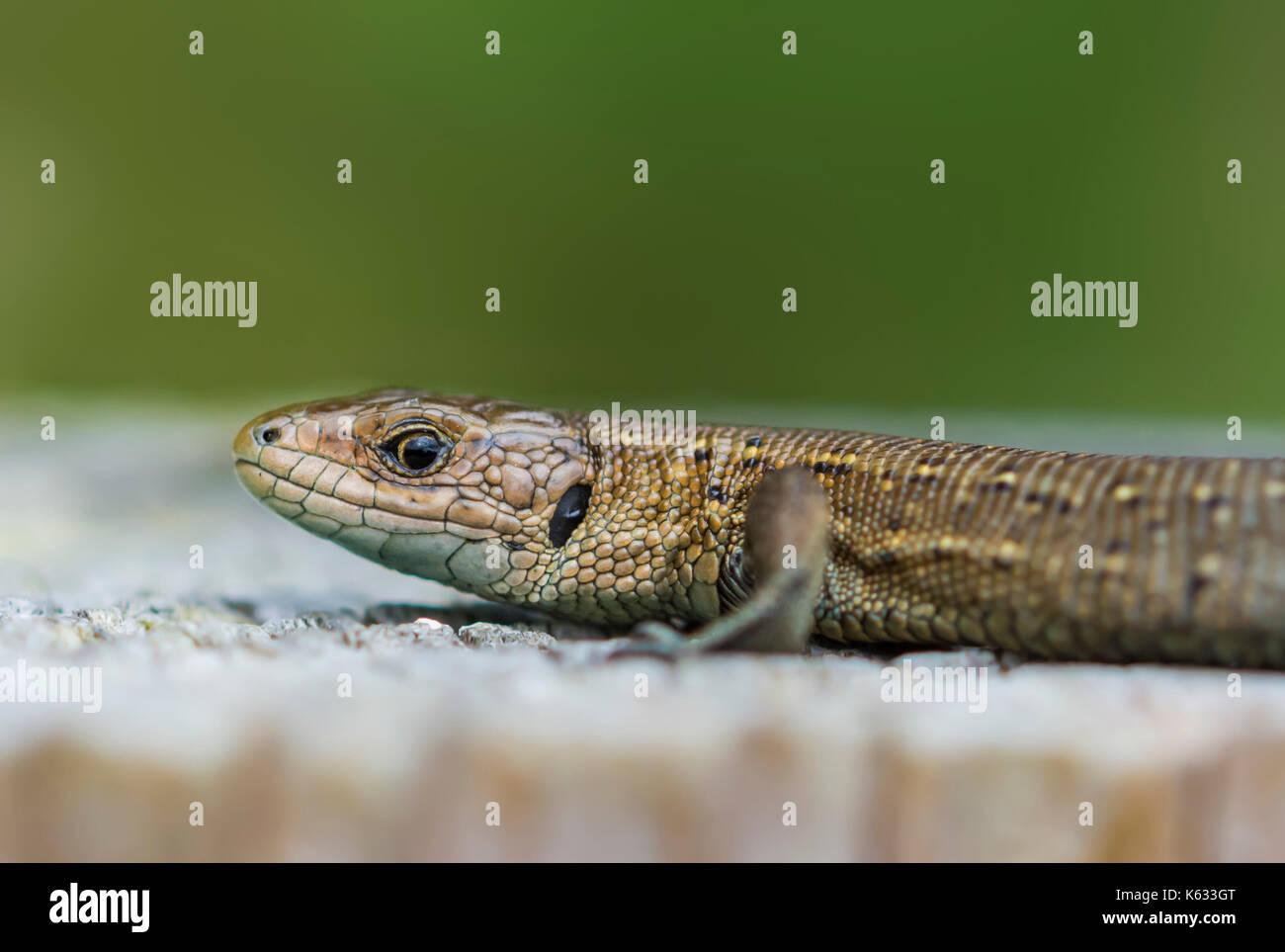 Zootoca vivipara Erwachsener (vivipar Lizard oder Common Lizard oder Eurasische Eidechse) in Wäldern in der Nähe Stockfoto