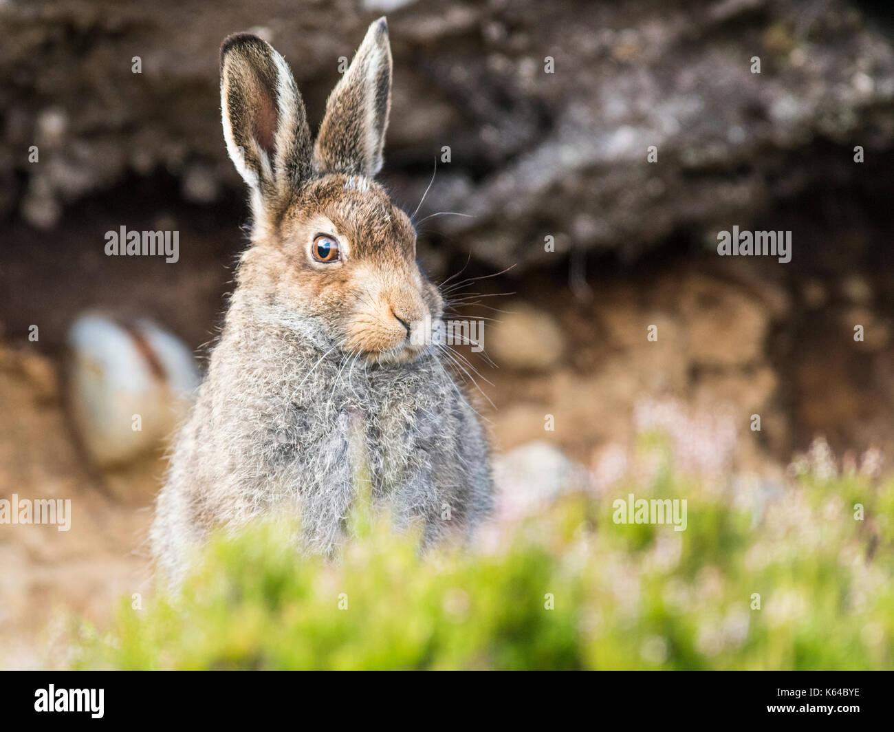 Schneehase (Lepus timidus) sitzt in Habitat, Sommer Mantel, Cairngroms Nationalpark, Highlands, Schottland, Großbritannien Stockbild