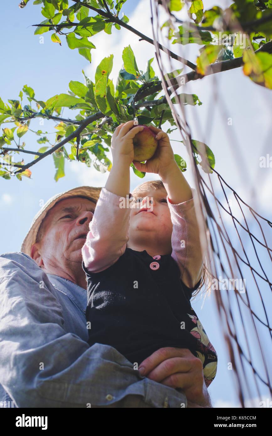 Ein Großvater hilft, seine Enkelin Pick ein Apfel von einem Baum. Stockbild