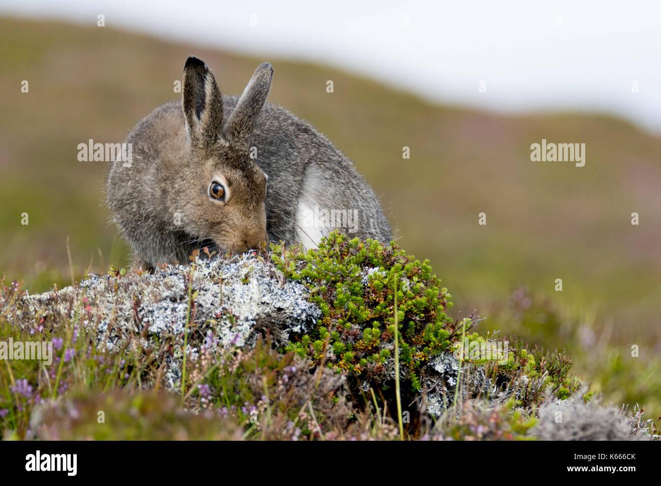 Schneehase (Lepus timidus), Scottish Highlands, August 2017 Stockbild