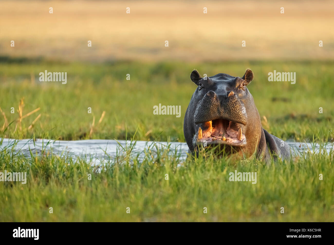 Hippopotamus in Wasser. Okavango Delta, khwai, Botswana Stockbild