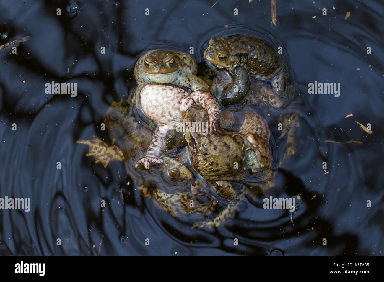 Erdkröte/Europäischen Kröten (Bufo bufo) in einen passenden Ball (mehrere amplexus) in Zucht Teich im Frühjahr Stockbild