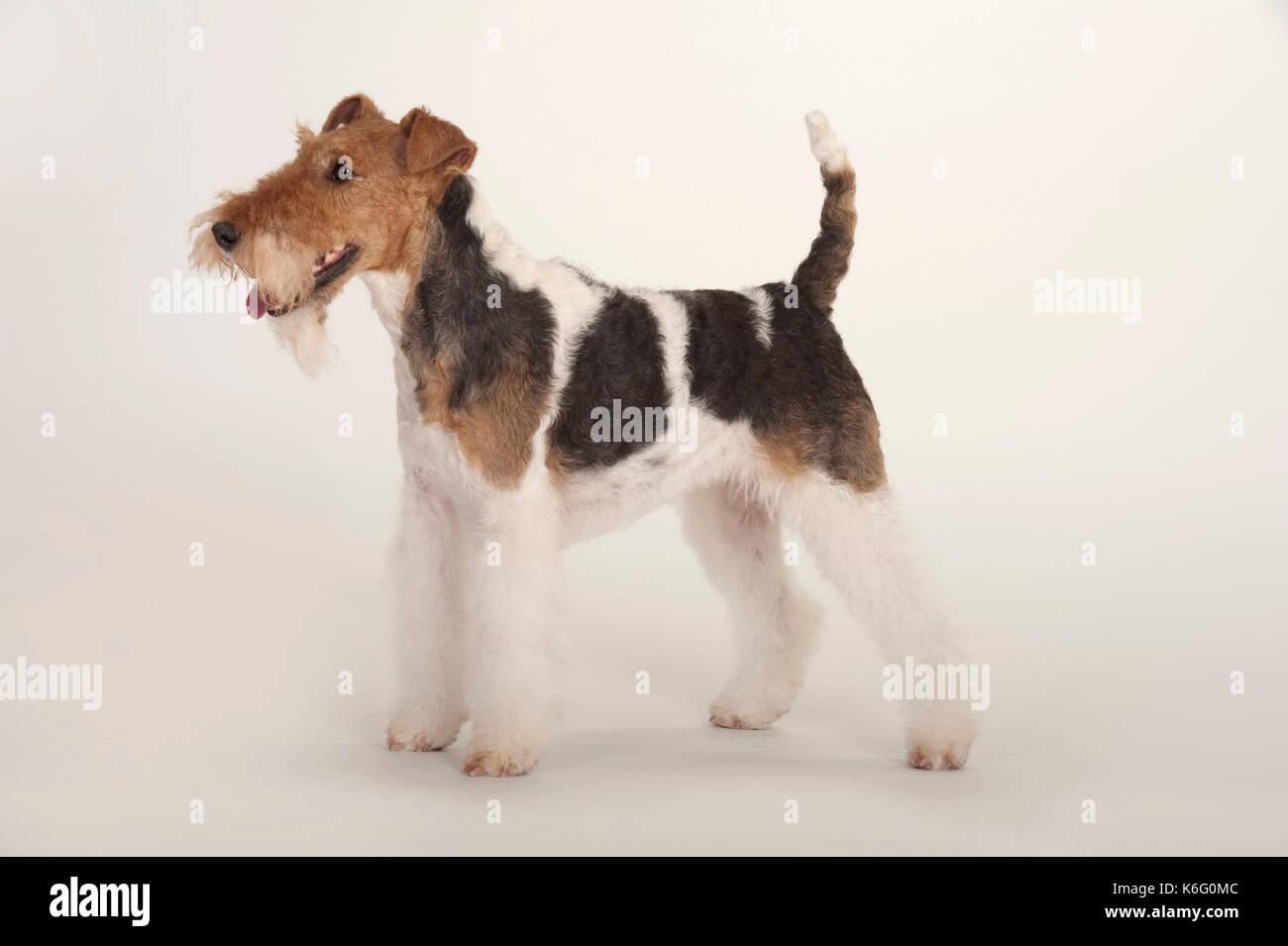 Fox Terrier Dog Stockfotos & Fox Terrier Dog Bilder - Alamy