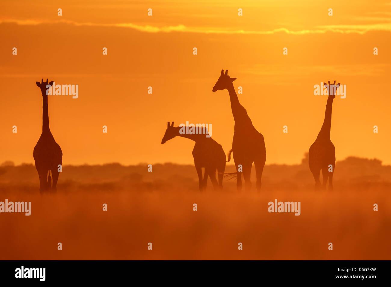 Giraffen-herde bei Sonnenaufgang, in Central Kalahari National Park, Botswana, goldenen Licht im langen Gras. Stockbild