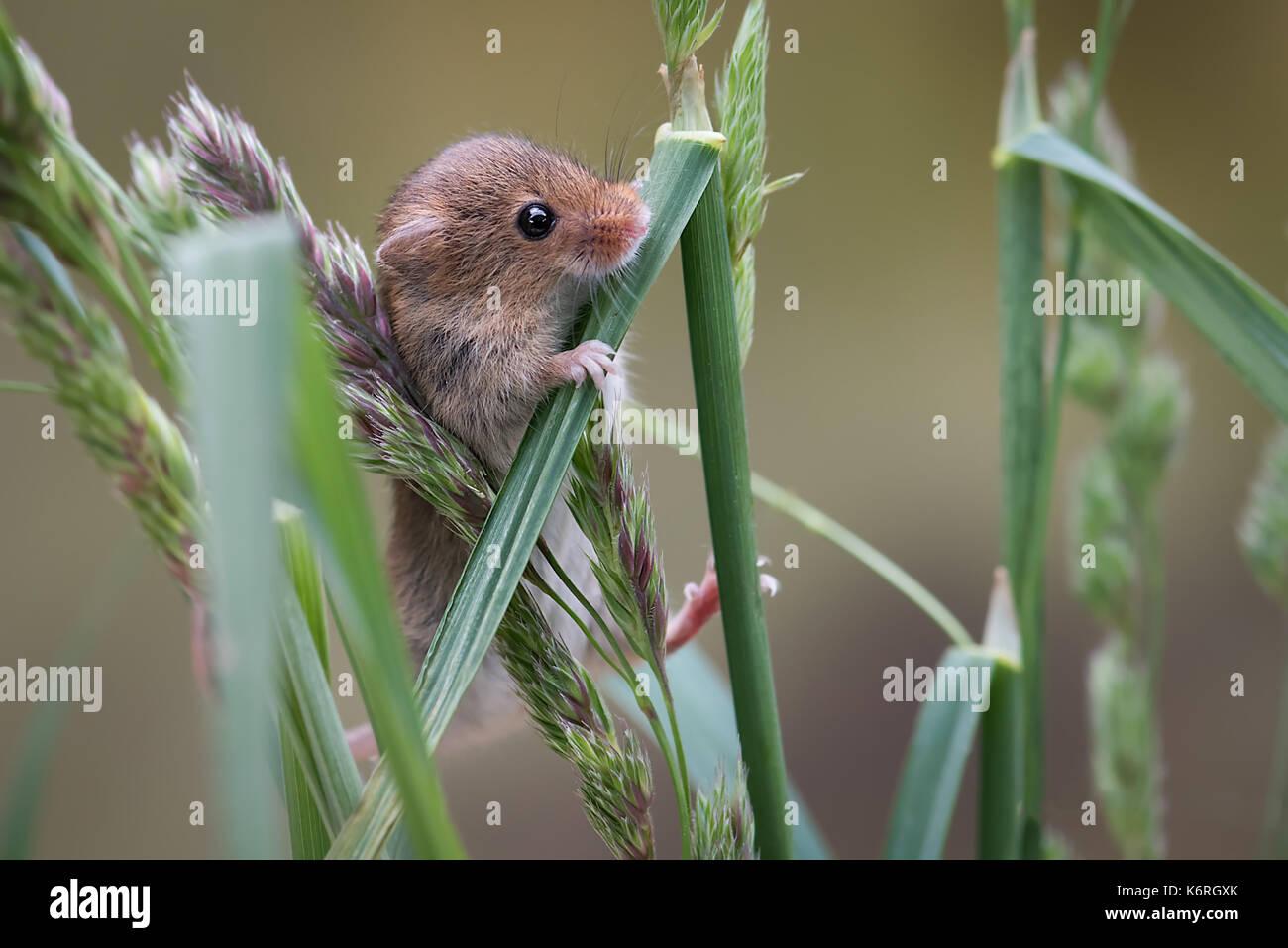 Eine Nahaufnahme von einer Ernte Maus klettern auf Grashalme und Suchen neugierig Stockbild