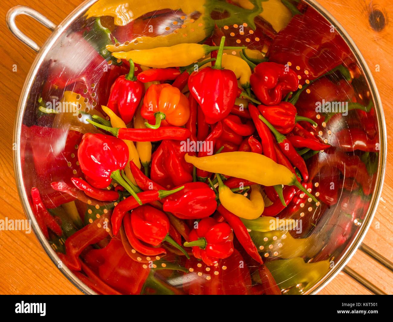 Frisch geerntete Chilis (Birds Eye, Aji Limón und Scotch Bonnet) in einer Küche Sieb. Stockbild
