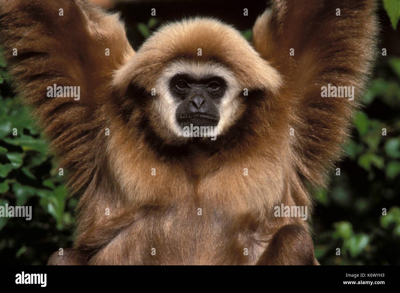 Weiß übergeben Gibbon (Hylobates lar) - Hängen in den Bäumen, Gesicht, Augen, Captive, Porträt, mit Blick auf die Stockfoto