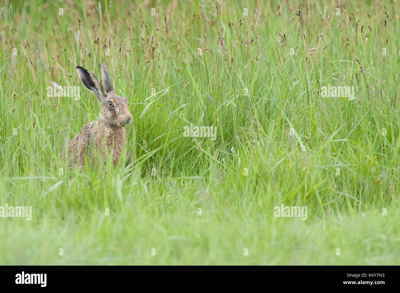 Feldhase, Lepus europaeus, elmley Marsh, Kent GROSSBRITANNIEN, versteckt in langen Gras Stockfoto