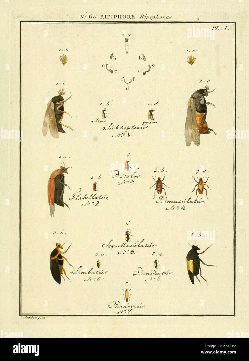 Entomologie, ou Histoire Naturelle des Insectes (Nr. 65 Ripiphore Pl. I) (8112731514) Stockbild