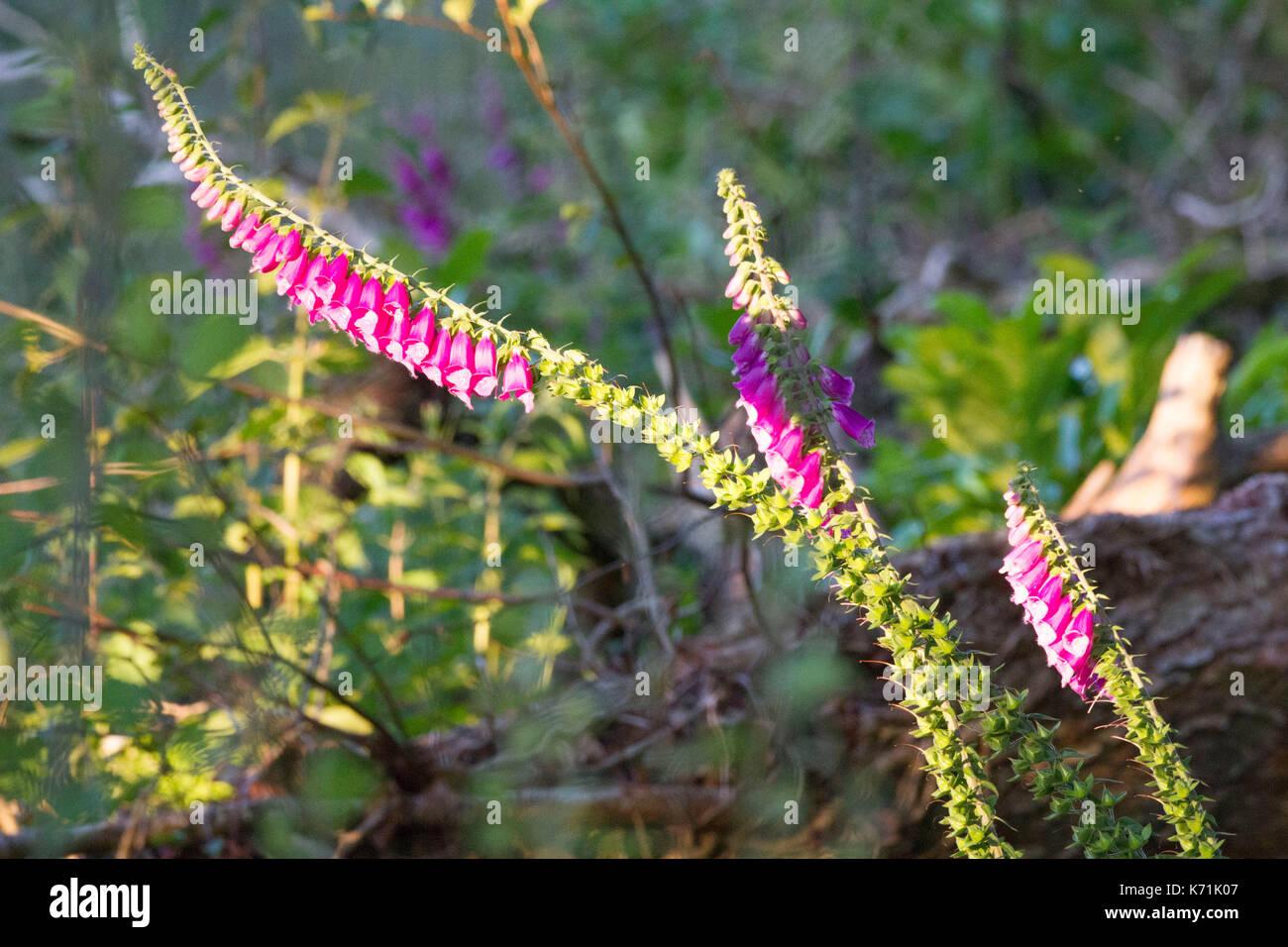 fingerhut digitalis purpurea wachsen in der lichtung von biber erstellt das fllen von bumen und schaffen so neue kologische nische gutes beispiel fr - Okologische Nische Beispiel