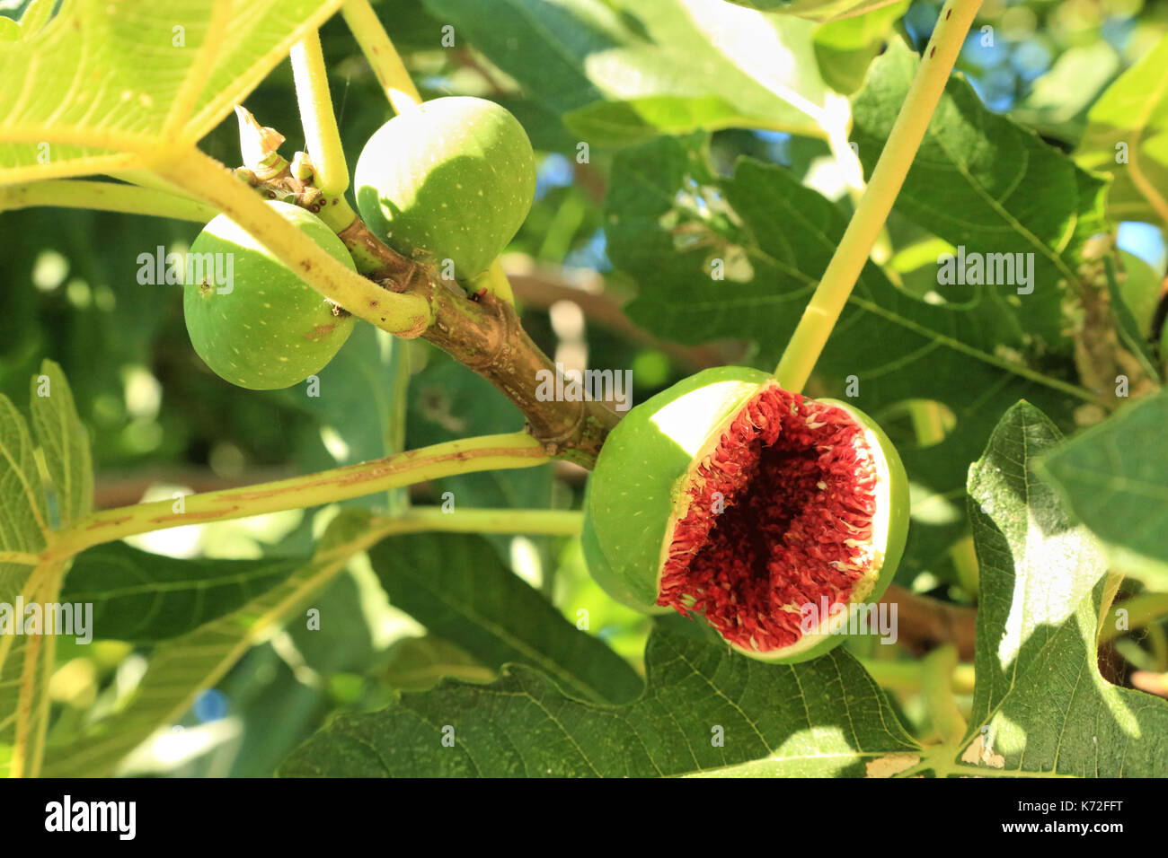 Abb. Obst in Feigenbaum Zweig öffnen Stockbild