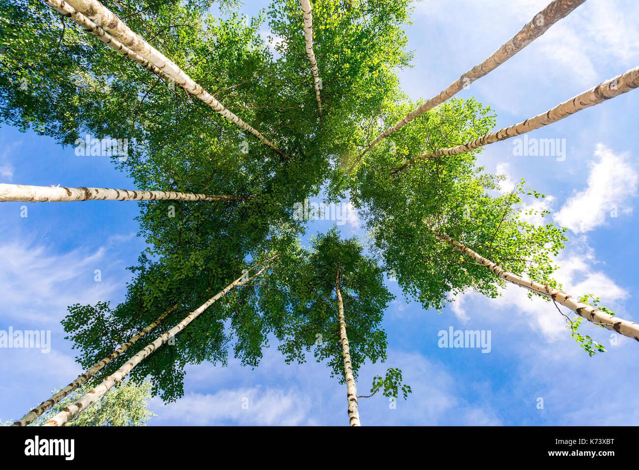 Kronen der hohen Birken über seinem Kopf in den Wald vor blauem Himmel. Die wilde Natur der Wälder. Laubwald im Sommer Stockbild